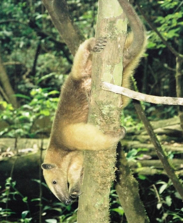 An anteater hangs from a tree in the Amazon jungle