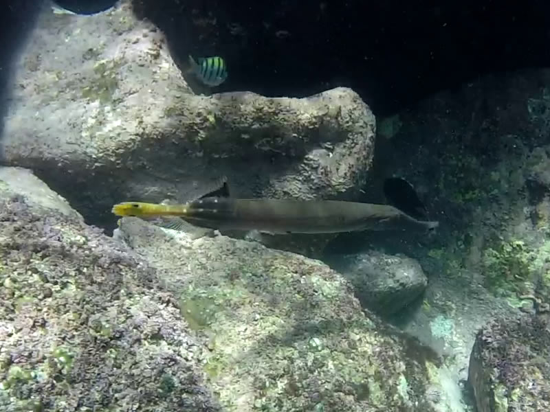 Chinese Trumpetfish at El Saltito