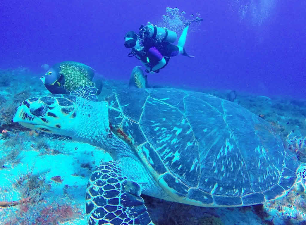 Diane swims with a French Angelfish and Hawksbill Turtle near Cozumel, Mexico