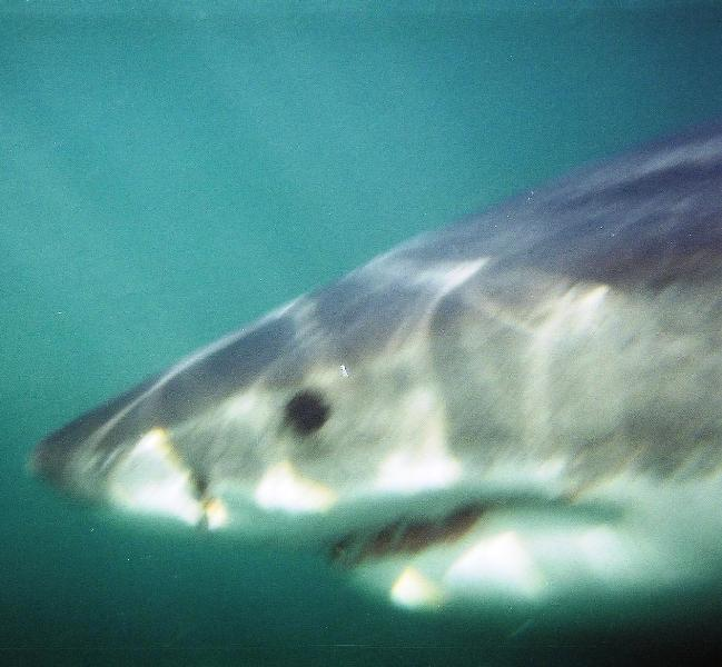 Great White Shark at Dyer Island, South Africa