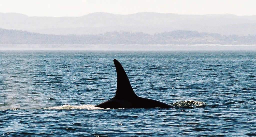 Orca or Killer Whale near Victoria on Vancouver Island