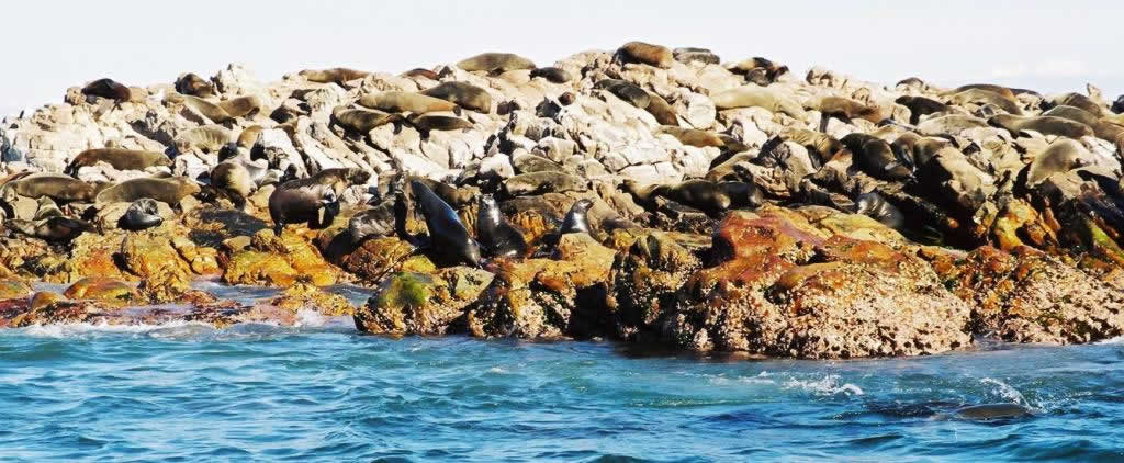 Cape Fur Seal colony on Dyer Island, South Africa