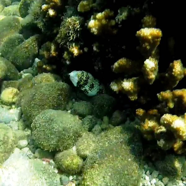 Snowflake Moray Eel in a coral reef