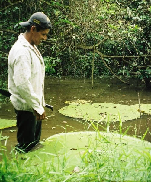Victoria Lilypads are large aquatic plants in the Amazon jungle