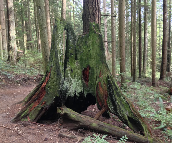 Old growth logging stump burned hollow by wildfires in North Vancouver
